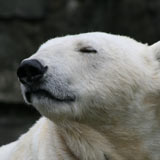 Mercedes the polar bear